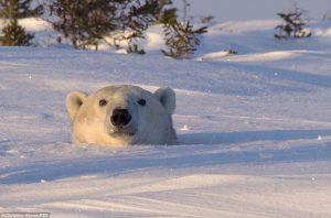 Polar Bear Poking Credit Dailmail UK